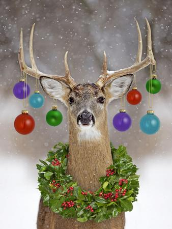 White Tailed Deer Buck In Winter Snow With Christmas
