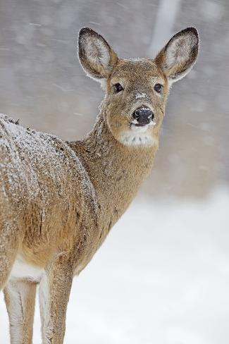 white tailed deer doe in winter snow photographic print at