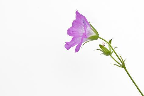 Single flower on white background photographic print by will single flower on white background photographic print by will wilkinson at allposters mightylinksfo