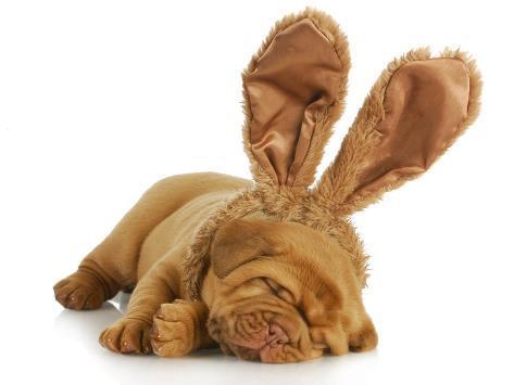 Resultado de imagen para 犬 Dogue de Bordeaux 結婚式