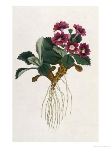 Mountain Primula Giclee Print
