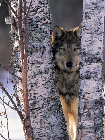 Gray Wolf Near Birch Tree Trunks, Canis Lupus, MN Photographic Print