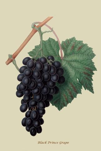 Black Prince Grape Taidevedos