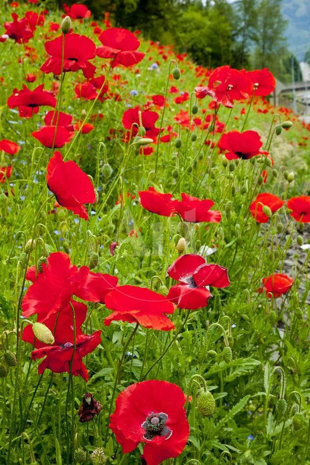 Red Poppies Flowers In Field Snoqualmie Washington State Papaver