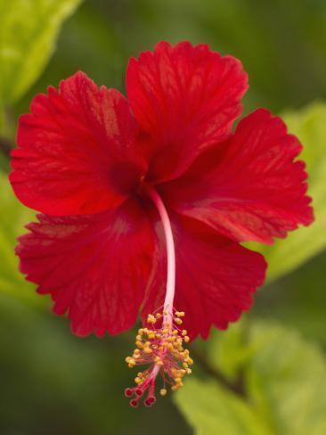 Red Hibiscus, Hibiscus Rosa-Sinensis, Belize Photographic Print