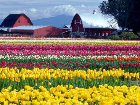 Tulip Display Field, Washington, USA Photographic Print