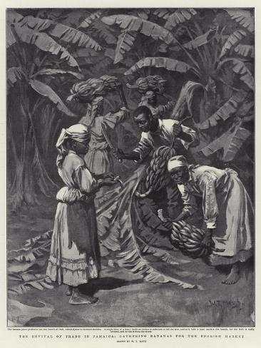 The Revival of Trade in Jamaica, Gathering Bananas for the English Market Giclee Print