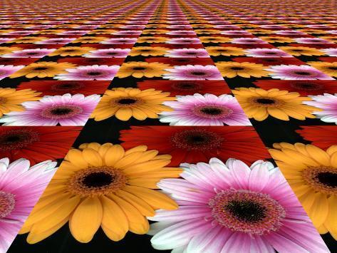 Gerbera Flowers Multiplied in Tiles Photographic Print