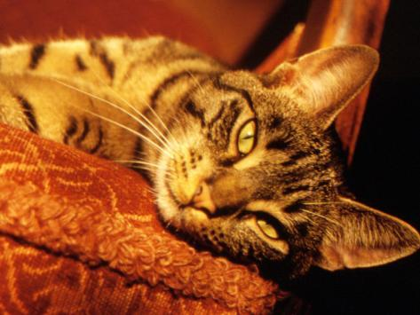Lazy Cat on the Sofa Photographic Print