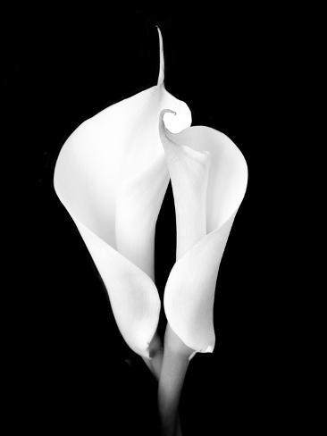 Two White Calla Lilies Photographic Print
