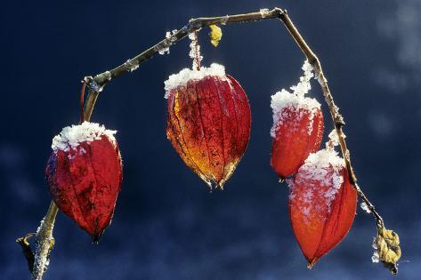 Winter Cherry Stampa fotografica