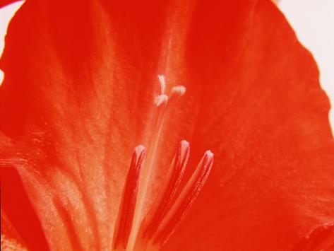 Red Petal Photographic Print