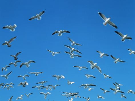 Seagulls Photographic Print