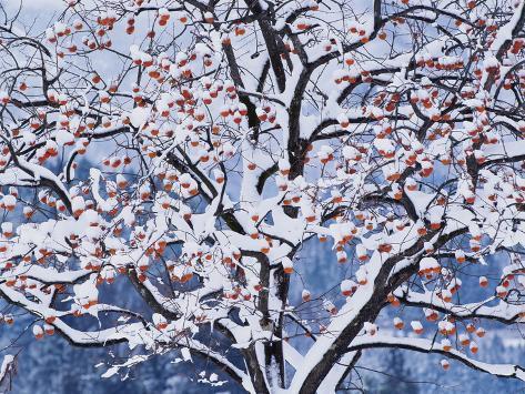 Snow on the Tree Photographic Print