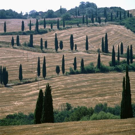 Cypresses and stubble fields in the Tuscany Photographic Print