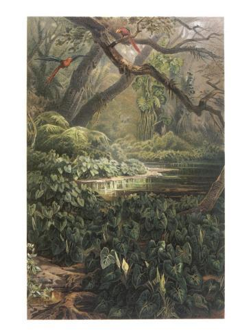 Xanthosoma and Other Exotic Flora, and Birds in the Brazilian Jungle Lámina giclée
