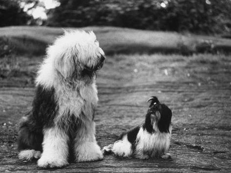 Old English Sheep Dog with Little Shih Tzu Dog Photographic Print