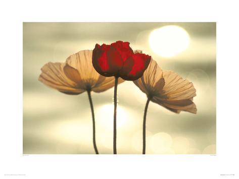 Icelandic Poppies Giclee Print
