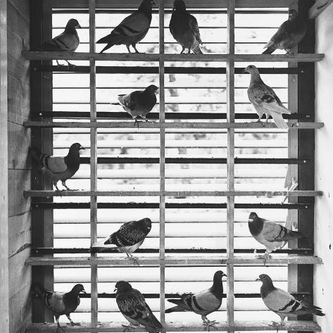 Young Pigeons in a Loft Photographic Print