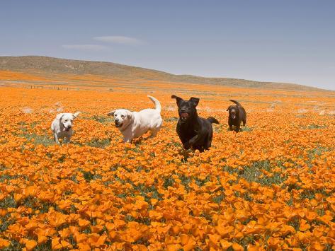 Four Labrador Retrievers Running Through Poppies in Antelope Valley, California, USA Photographic Print