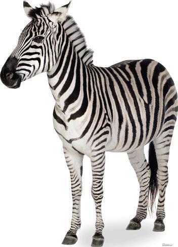 zebra lifesize standup cardboard cutouts at allposters com