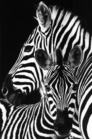 zebra posters at allposters com