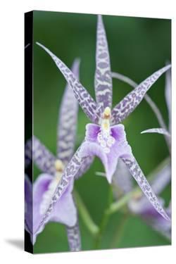 USA, Hi, Near Hilo, Hawaii Tropical Botanical Garden, Orchid by Rob Tilley