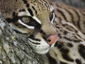 ocelot female resting on mesquite tree welder wildlife refuge sinton texas usarolf nussbaumer