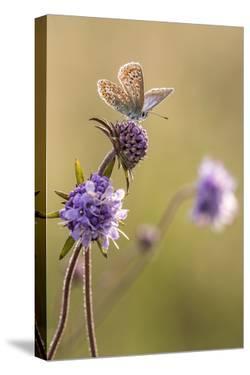 Common blue butterfly resting on devil's bit scabious, Vealand Farm, Devon, UK by Ross Hoddinott