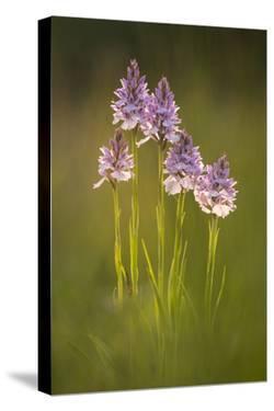 Common spotted orchids (Dactylorhiza fuchsii), backlit, Volehouse nature reserve, Devon, UK by Ross Hoddinott