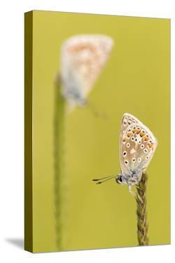 RF - Common blue butterflies resting on a backlit grass, Vealand Farm, Devon, UK by Ross Hoddinott