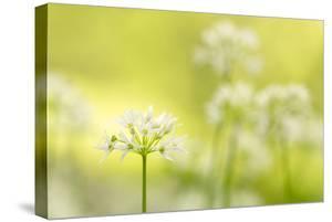 RF - Wild garlic/Ramson flowerts (Allium ursinum) Valency Valley, Boscastle, Cornwall, UK by Ross Hoddinott