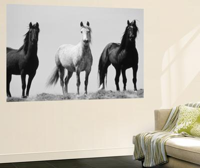 Wild Stallion Horses  Alkali Creek  Cyclone Rim  Continental Divide   Wyoming  USAScott T  Smith  Wall Mural. Horses wall murals  Posters and Prints at Art com