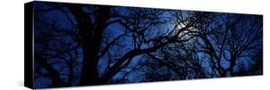 Silhouette of Oak Trees, Texas, USA