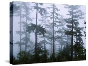Silhouette of Trees with Fog in the Forest, Douglas Fir, Hemlock Tree, Olympic Mountains