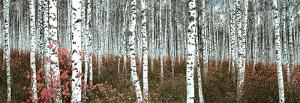 Birch Posters And Prints At Art Com