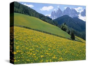 Dolomites Mountains and Wild Yellow Flowers, Villnoss / Val Di Funes, Trentino, Italy by Steve Vidler