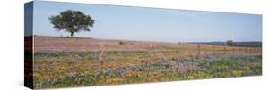 Texas Bluebonnets and Indian Paintbrushes in a Field, Texas Hill Country, Texas, USA