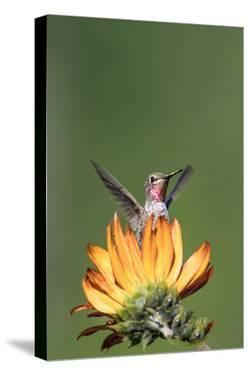 Anna's Hummingbird, Santa Cruz, California, USA by Tom Norring