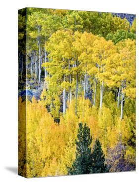 Aspen Fall Foliage, Eastern Sierra Foothills, California, USA by Tom Norring