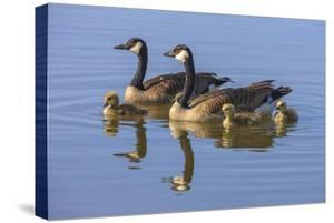 Canada Goose with chicks. San Francisco Bay, California, USA. by Tom Norring