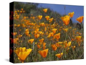 Golden California Poppies, Santa Cruz Coast, California, USA by Tom Norring