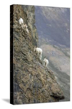 Mountain Goats, Kongakut River, ANWR, Alaska, USA by Tom Norring