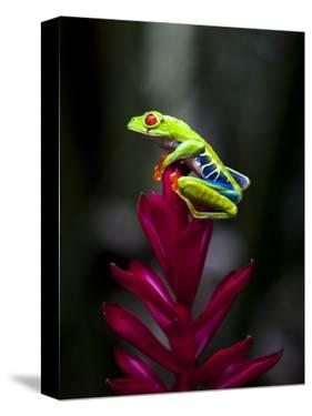 Red-Eyed Tree Frog. Sarapiqui. Costa Rica. Central America by Tom Norring