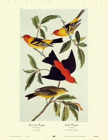 Louisiana Tanager, Scarlet Tanager