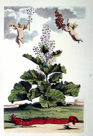 Rotundifolium Verum