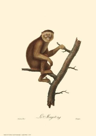 Monkeys: Le Magot