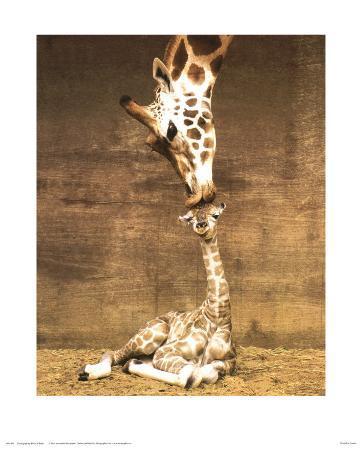 Giraffe, First Kiss