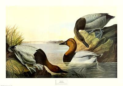 Canvas Backed Duck