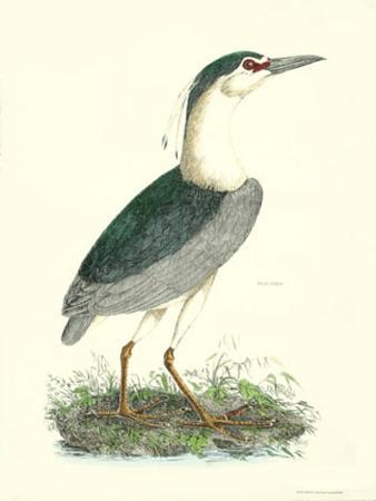 Common Night Heron